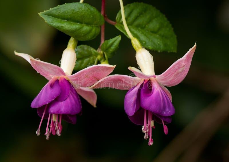 Un par de flores púrpuras fotos de archivo