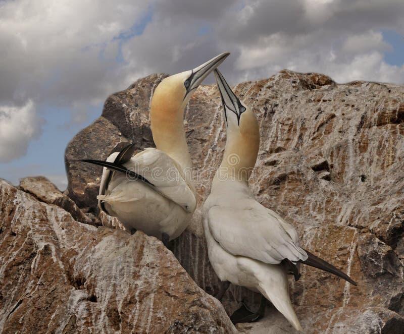 Un par de Gannets norteño imagen de archivo