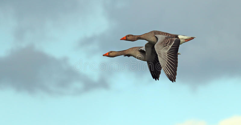 Un par de gansos que vuelan junto fotos de archivo libres de regalías