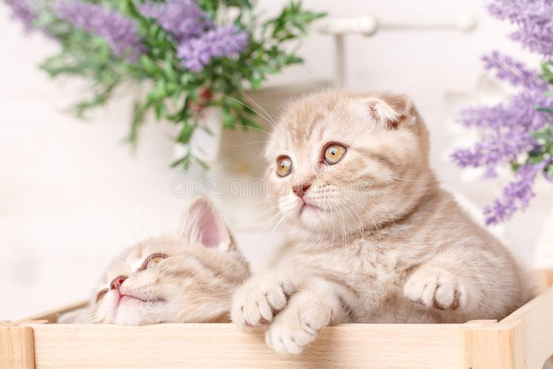 Un par de gatitos rojos escoceses se sientan en una caja de madera decorativa fotografía de archivo