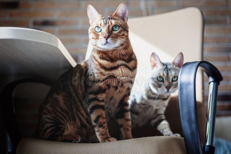 Un par de gatos hermosos lindos de Bengala grises y rojos con los ojos verdes claros que se sientan en la butaca fotografía de archivo libre de regalías