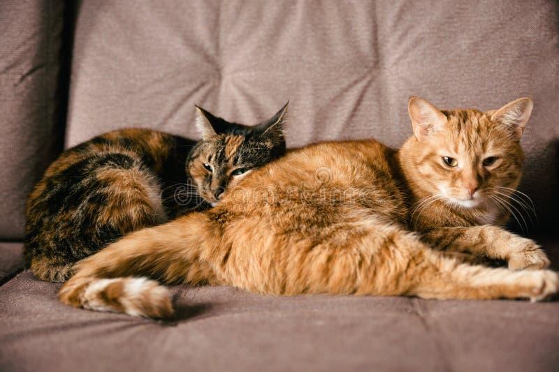 Un par de gatos de los amantes que mienten en el sofá imágenes de archivo libres de regalías