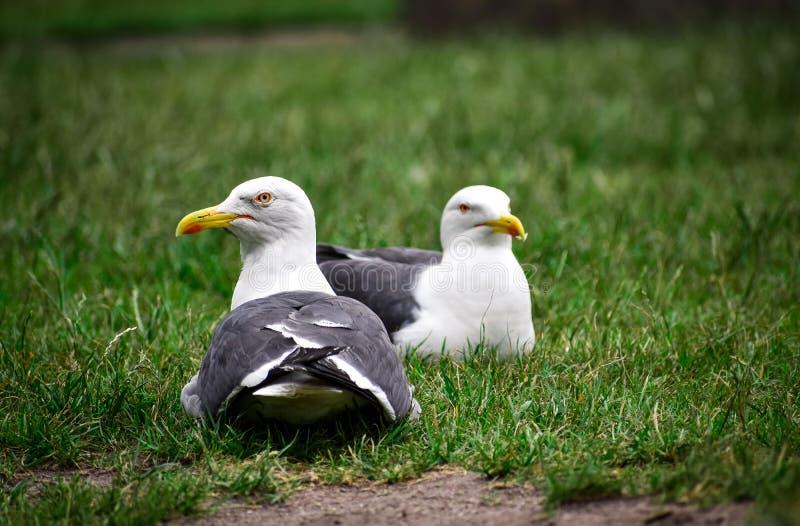 Un par de gaviotas que descansan sobre la hierba fotografía de archivo libre de regalías