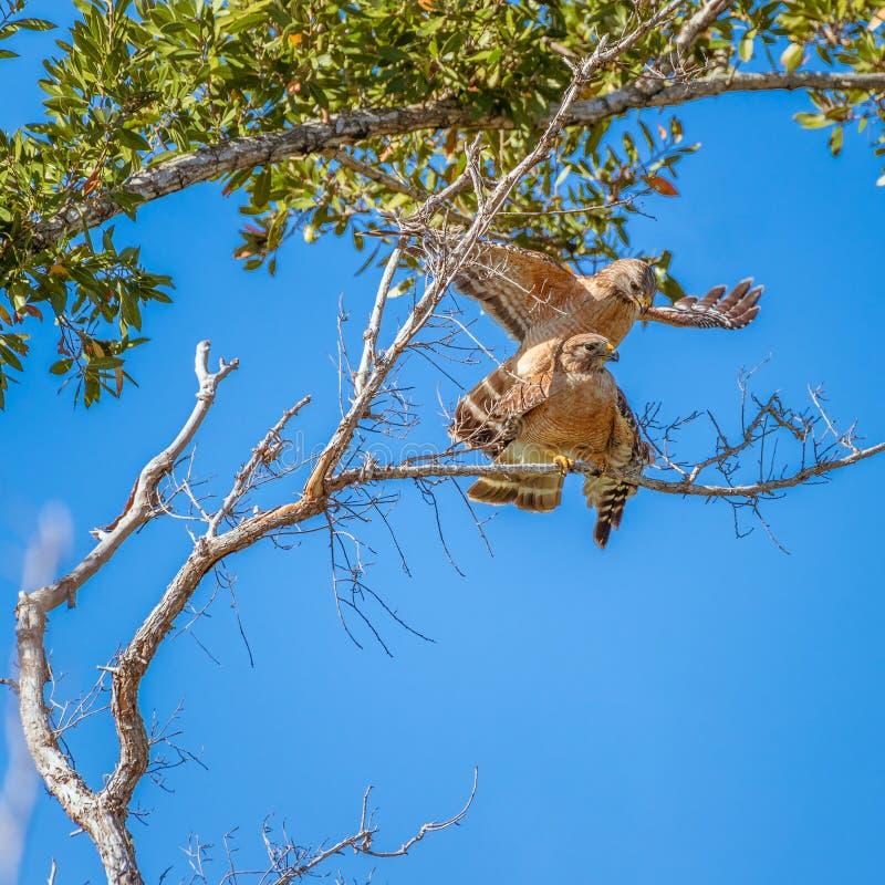 Un par de halcones Rojo-llevados a hombros que se acoplan en camping del flamenco Parque nacional de los marismas florida EE.UU. fotos de archivo libres de regalías