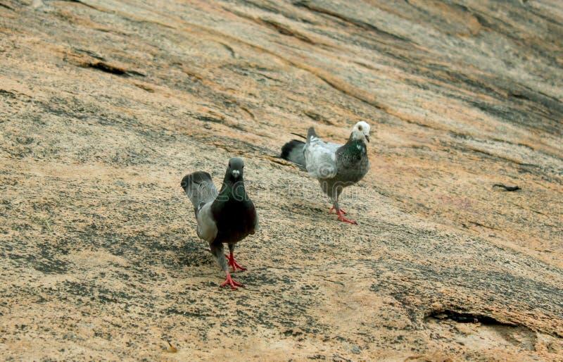 Un par de las palomas grises camina en las rocas imagenes de archivo