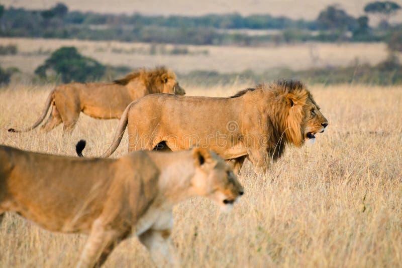 Un par de leones de África fotos de archivo