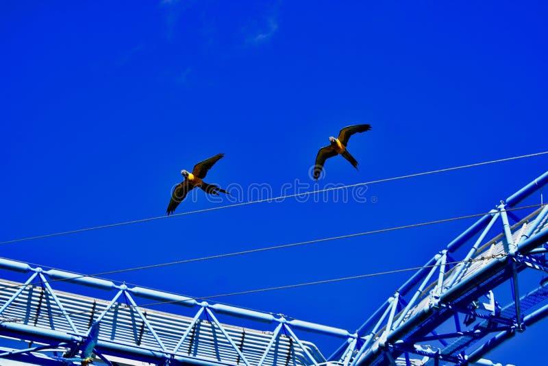 Un par de loros coloridos en vuelo fotos de archivo