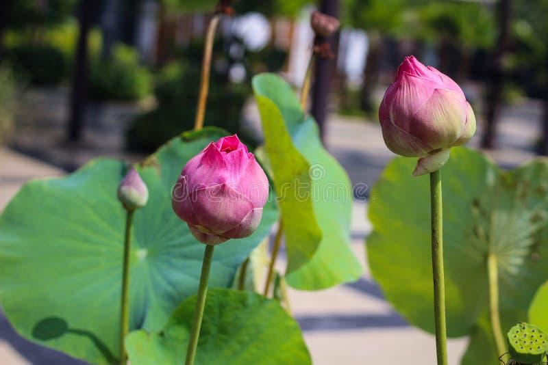 Un par de Lotus Flower imagenes de archivo