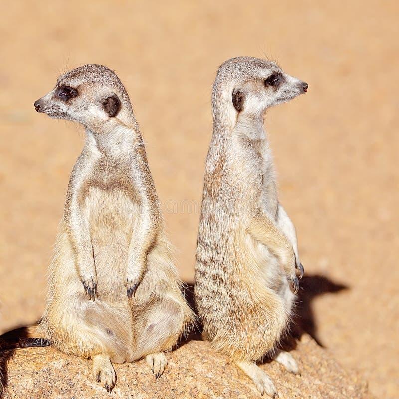 Un par de Meerkats que mira alrededor imágenes de archivo libres de regalías