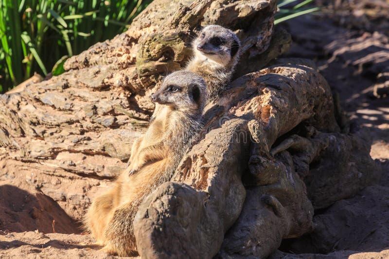 Un par de meerkats que se inclinan en un registro fotos de archivo