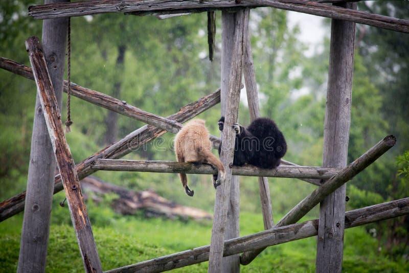Un par de monos imágenes de archivo libres de regalías