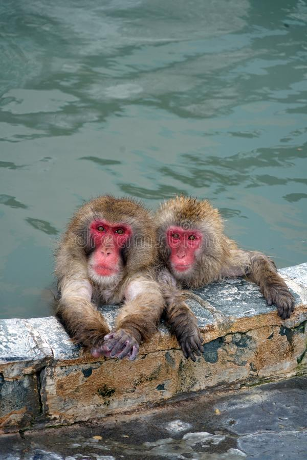 Un par de monos en las aguas termales fotografía de archivo