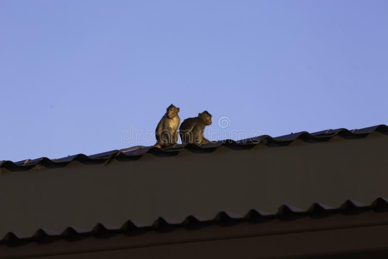 Un par de monos se sientan en el tejado imagenes de archivo