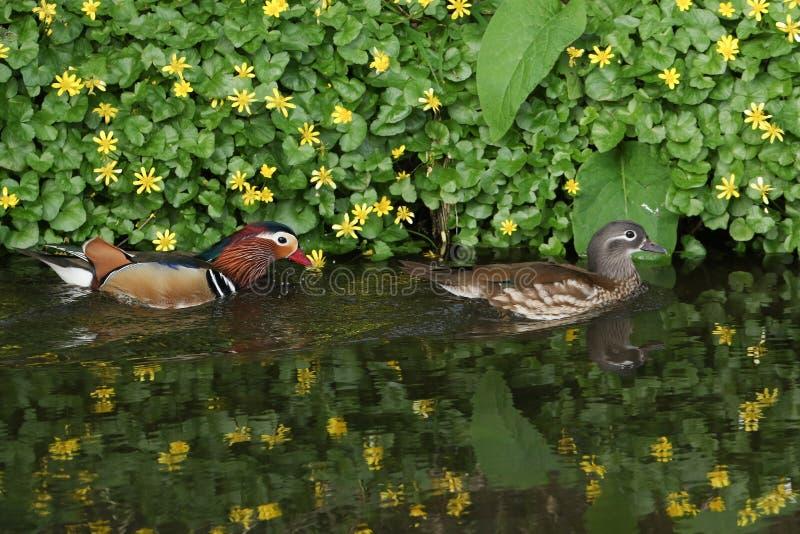Un par de natación del galericulata de Duck Aix del mandarín en una corriente, con un contexto de las flores del celandine y de s foto de archivo