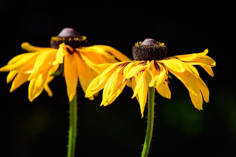 Un par de negro amarillo de oro vibrante observó a Susan Flowers fotografía de archivo
