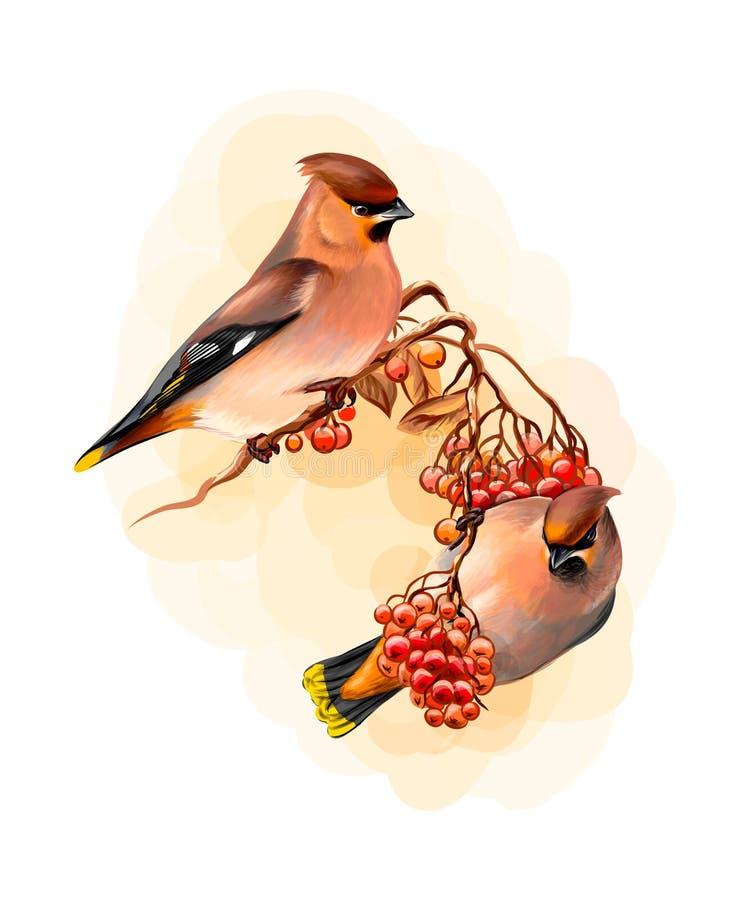 Un par de pájaro hermoso del Waxwing de los pájaros del invierno que se sienta en una rama en el fondo blanco, bosquejo exhausto  stock de ilustración
