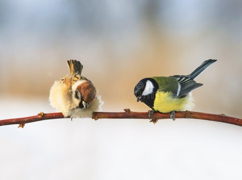 Un par de pájaros gorrión y chickadee que se sientan en una rama t siguiente fotos de archivo libres de regalías