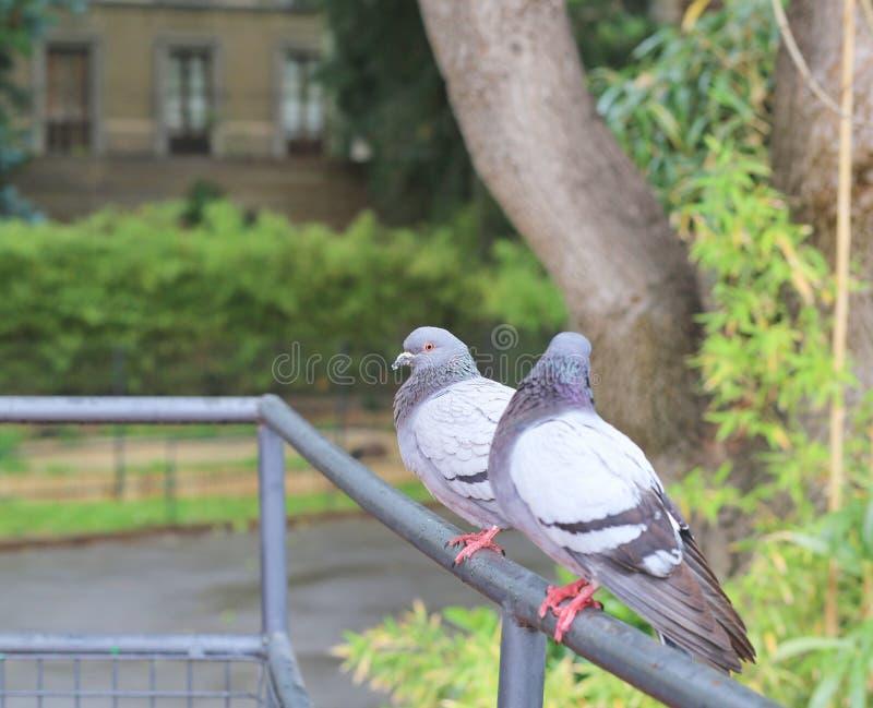 Un par de palomas imágenes de archivo libres de regalías