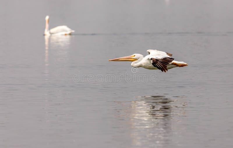 Un par de pelícanos blancos americanos que flotan y que vuelan en un lago del noreste colorado imágenes de archivo libres de regalías