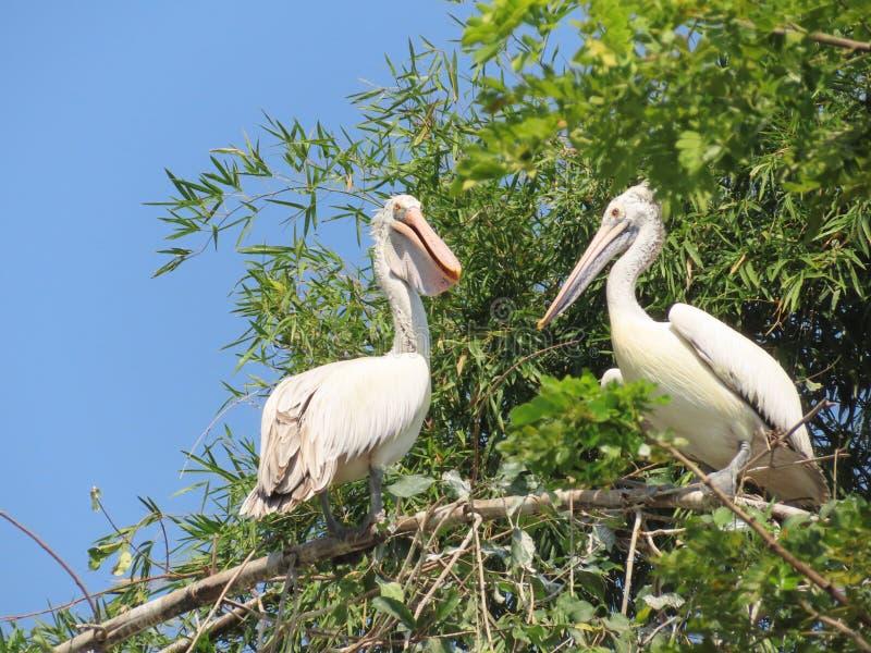 Un par de pelícanos en el refugio de aves de Raganathittu foto de archivo
