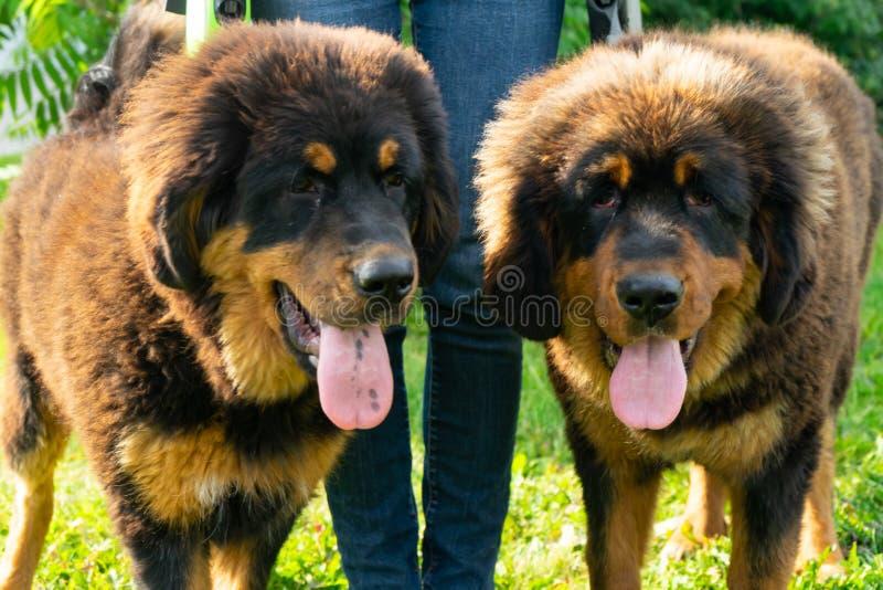 Un par de perritos del mastín tibetano en un paseo en la hierba verde foto de archivo