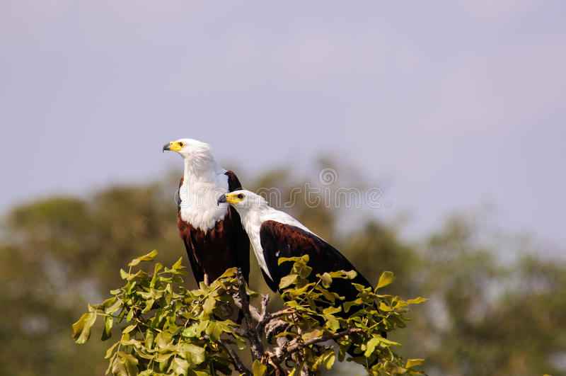 Un par de pescados Eagles africanos en la cima de un árbol imagen de archivo