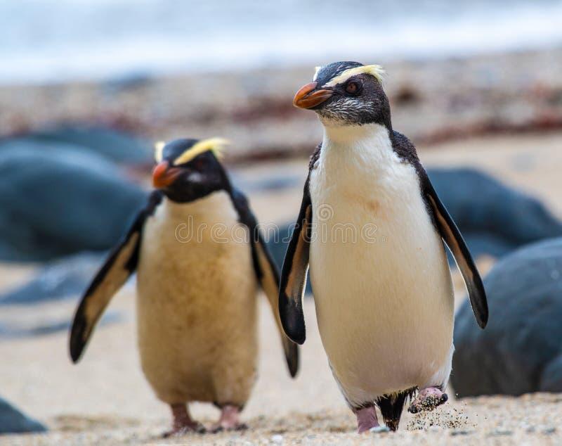 Un par de pingüinos con cresta de Fiordland en la isla del sur de Nueva Zelanda fotos de archivo