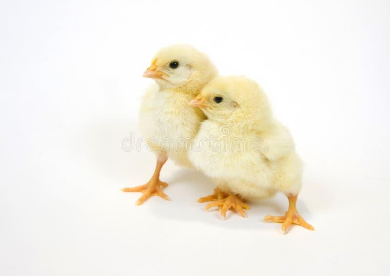 Un par de polluelo del bebé en el fondo blanco 5 imagen de archivo