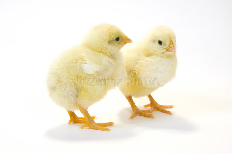 Un par de polluelo del bebé en el fondo blanco 5 fotos de archivo