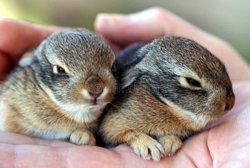 Un par de resto de los conejos de conejo de rabo blanco del bebé en una mano imagen de archivo