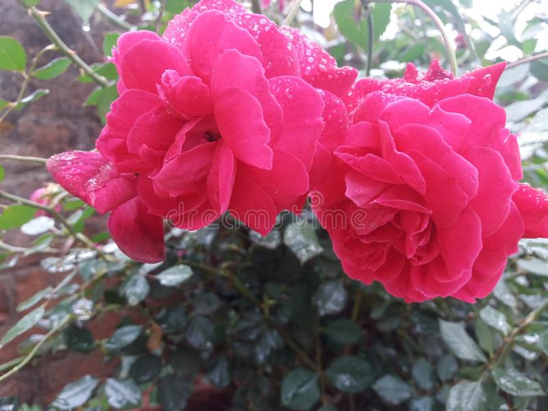 Un par de rosa del rojo con símbolo del amor foto de archivo libre de regalías