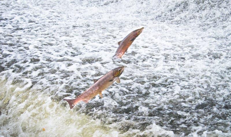 Un par de salto de Salar del Salmo del salmón atlántico foto de archivo libre de regalías