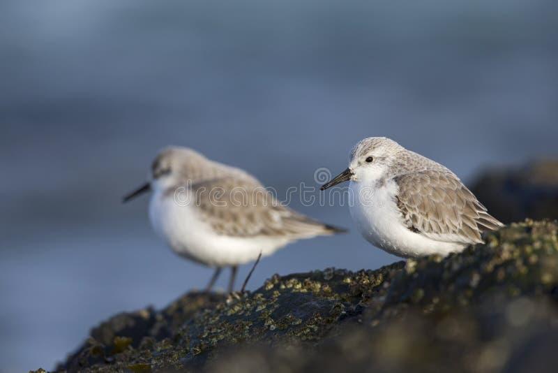 Un par de sanderling encaramado en una roca a lo largo de la costa holandesa en el invierno en el Mar del Norte imagen de archivo libre de regalías