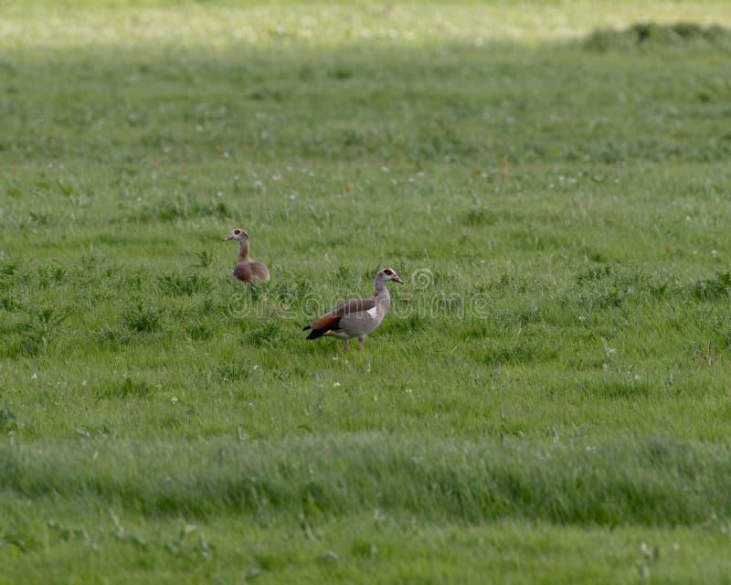 Un par de situación egipcia del ganso en un campo de hierba verde foto de archivo