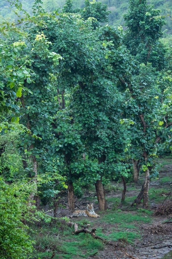 Un par de tigres bengalíes que descansan en la naturaleza justo después de la lluvia en un lugar pintoresco en la reserva de tig imagen de archivo libre de regalías