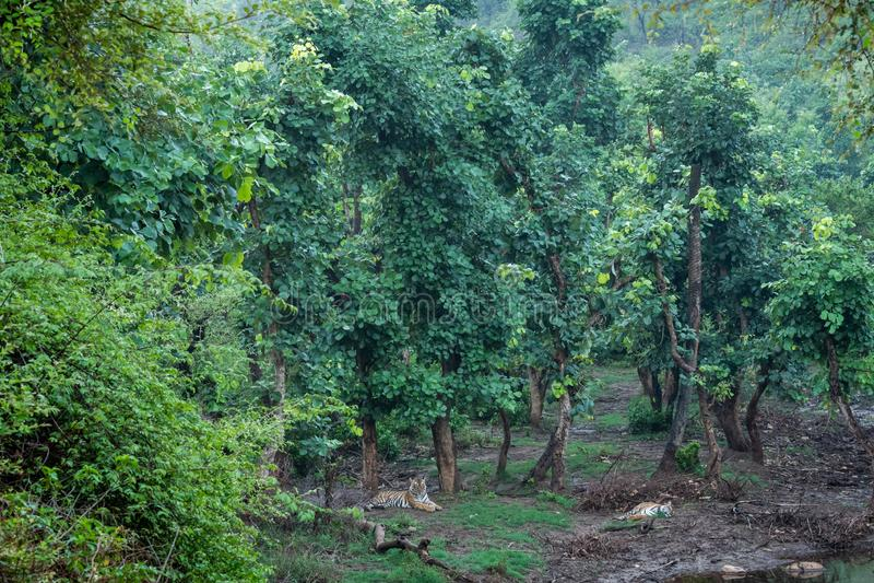 Un par de tigres bengalíes que descansan en la naturaleza justo después de la lluvia en un lugar pintoresco en la reserva de tig foto de archivo