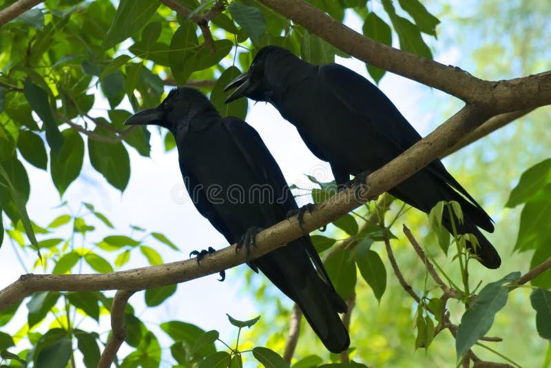 Un par negro del pájaro, discutiendo con uno a, arriba para arriba en un árbol verde hermoso imagen de archivo