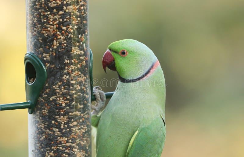 Un Parakeet de cuello anaranjado, alimentado por un alimentador de semillas Es el loro naturalizado más abundante del Reino Unido fotos de archivo