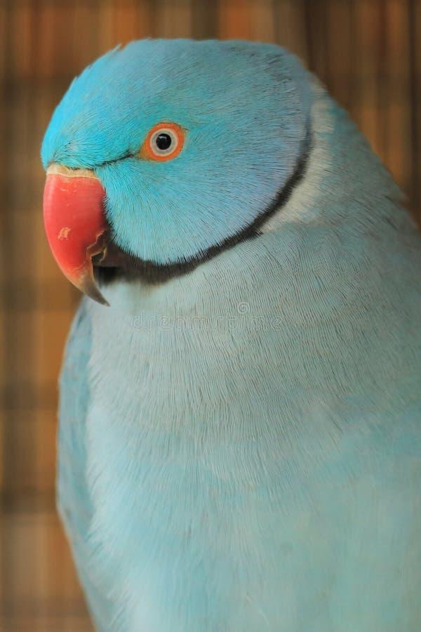 Un parakeet verde fotografia stock
