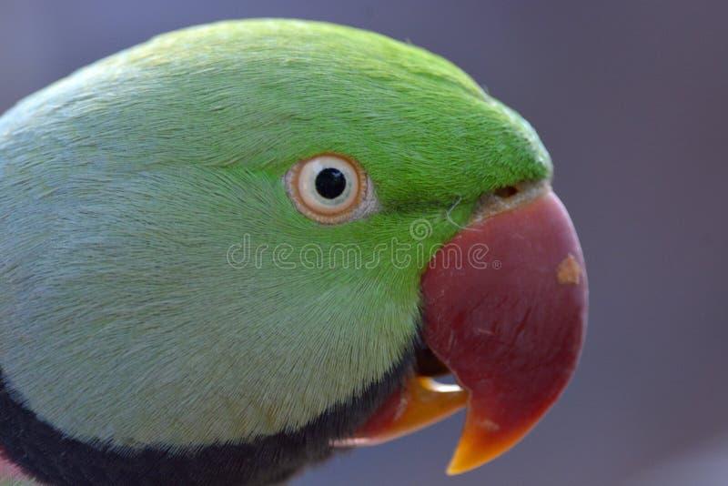 Un parakeet vert