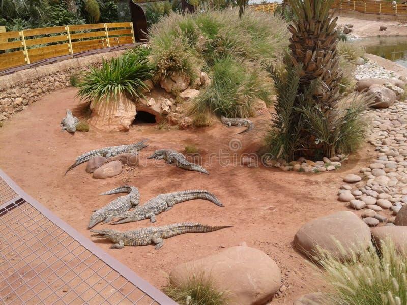 un parco del coccodrillo a Agadir Morroco immagine stock libera da diritti