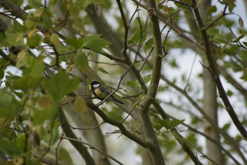Un paro carbonero en un árbol Visto de lejos Vista lejana - Francia imagen de archivo libre de regalías