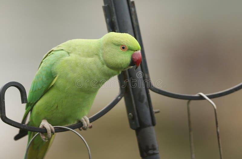 Un parrocchetto con un bel collare, o con un cerotto rosa, che penzola su un mangime per uccelli è il pappagallo naturalizzato pi immagine stock