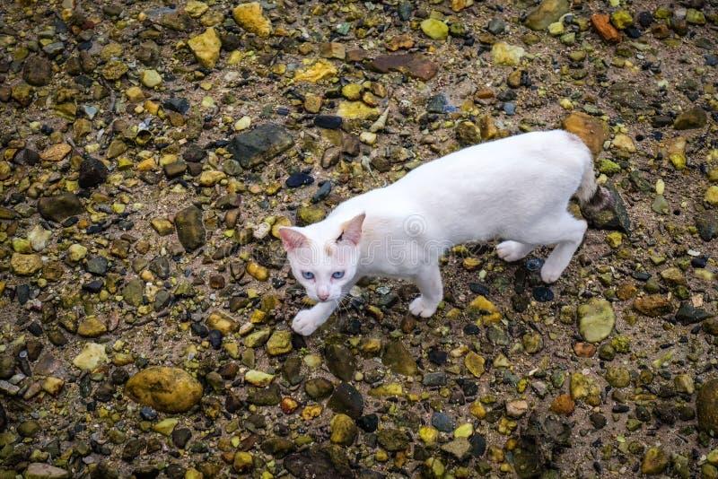 Un paseo de gato blanco en la tierra de la roca fotos de archivo libres de regalías