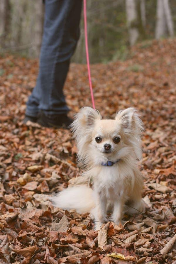 Un paseo del perro en otoño fotografía de archivo libre de regalías