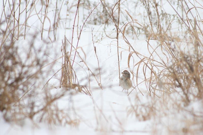 Un passero di albero nella neve fotografia stock