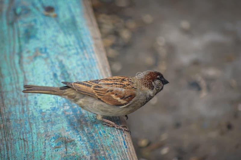 Un passero di campo si siede su un banco del villaggio e pulisce da parte Gli artigli sulle zampe conficcano la pittura di pelatu immagine stock