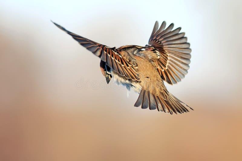 Un passero fluttua contro lo sfondo dei prati marroni immagini stock libere da diritti