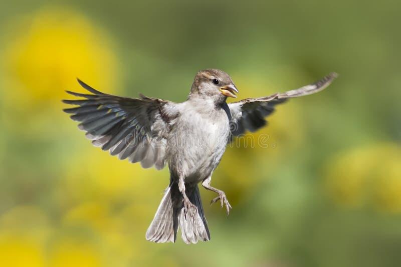 Un passero fluttua contro lo sfondo dei prati verdi fotografia stock