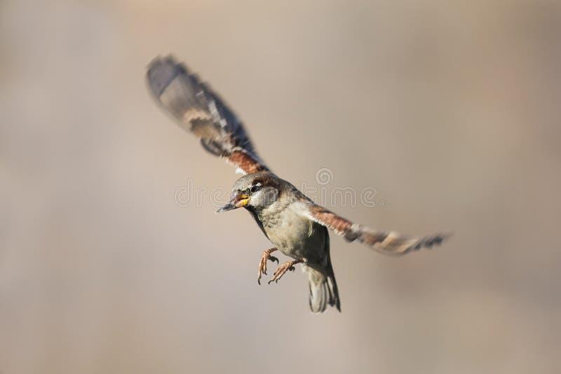 Un passero fluttua contro lo sfondo del cielo marrone fotografie stock